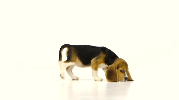 Cute Beagle Puppy over white background. close up,  Slow motion
