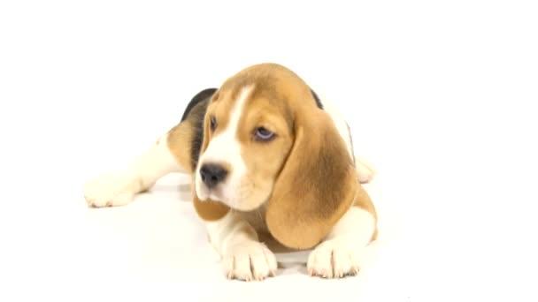 Aranyos Beagle Puppy ez fekszik a padlón a stúdió