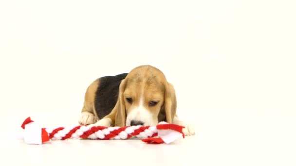 Beagle dogs sniffing in red stick