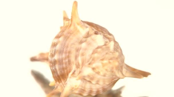 Stachelige Muschel auf Weiß, Drehung, Spiegelung, Nahaufnahme, Nockenwelle bewegt sich nach links