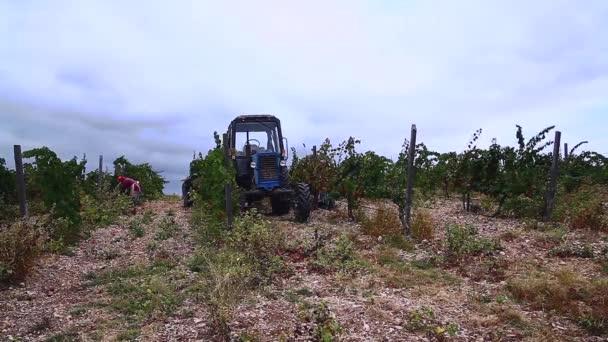 az emberek szőlőt és traktort gyűjtenek