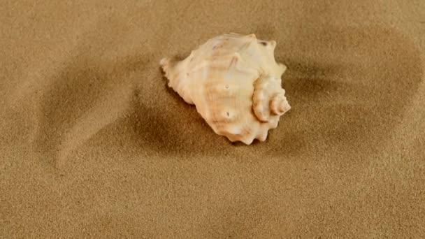 oben auf üblicher Meeresmuschel auf Sand, Drehung, Nahaufnahme