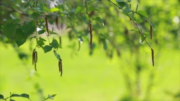 Birch buds on green background