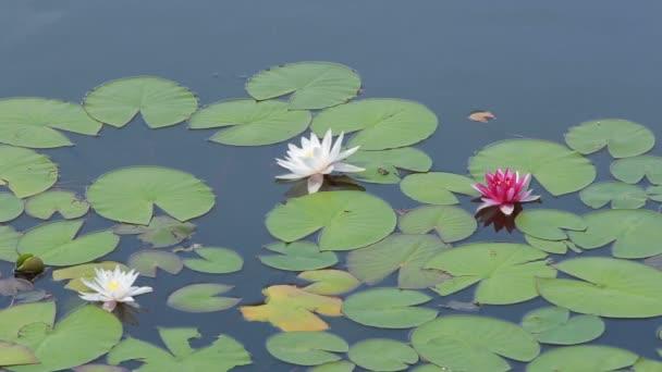 víz-liliomok és rózsaszín liliomokat a víz
