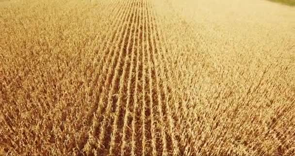 field corn, in rural meadow, nature Idea of a rich harvest. aerial shot