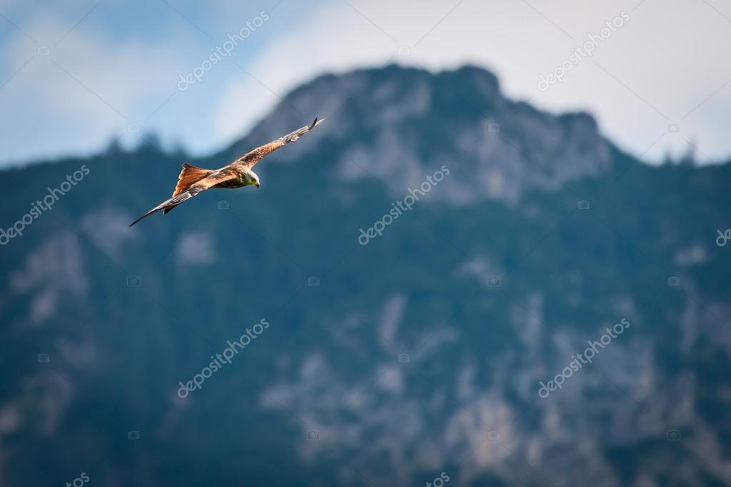Oiseau majestueux cerf volant rouge qui vole dans les montagnes d autriche photographie - Jeux d oiseau qui vole ...