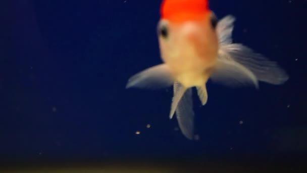krásná Orand rybku žlutá s červenou hlavou