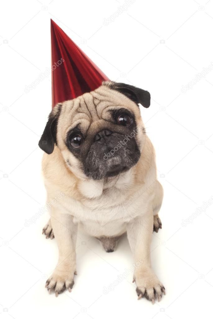 Mops Hund In Roter Geburtstag Kappe Stockfoto C Ulkan 57125589
