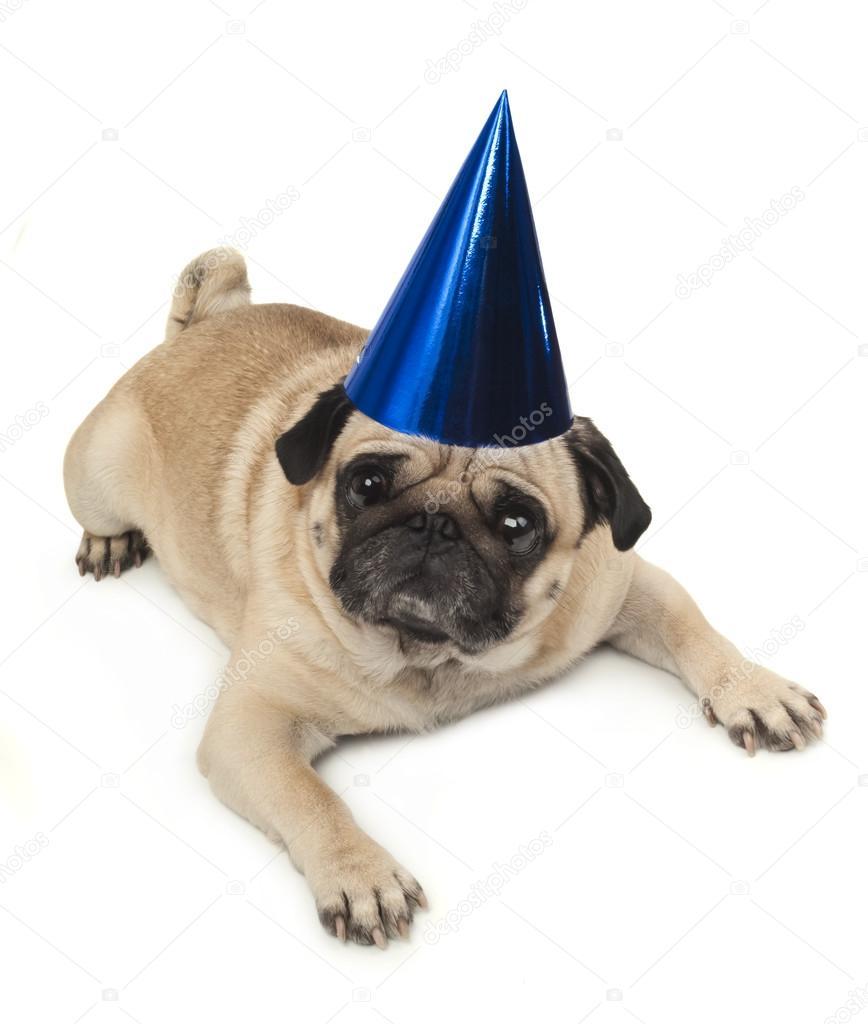 Mops Hund In Blau Geburtstag Cap Stockfoto C Ulkan 57125591