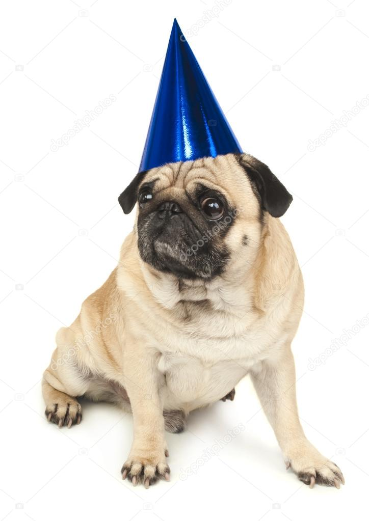 Mops Hund In Blau Geburtstag Cap Stockfoto C Ulkan 57125595