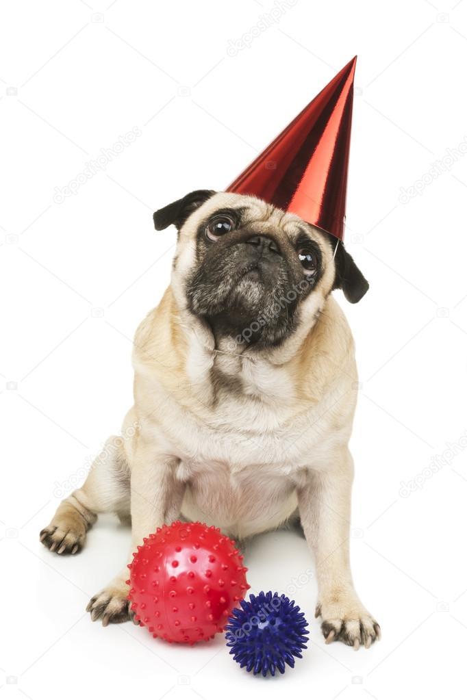 Mops Hund In Roter Geburtstag Kappe Stockfoto C Ulkan 59321519
