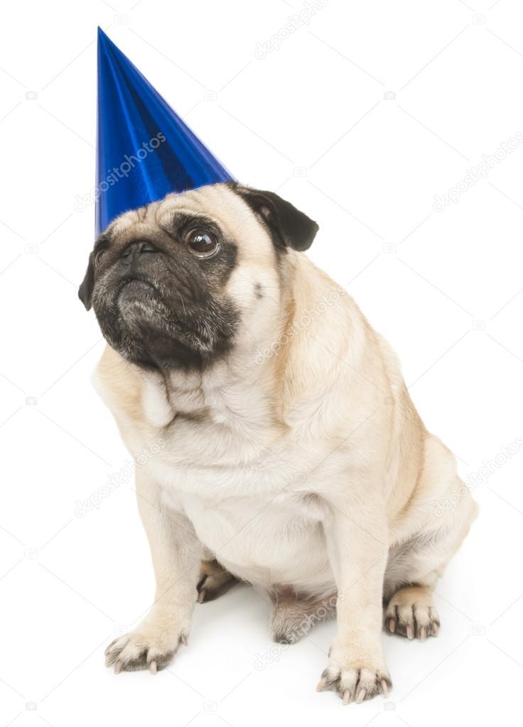 Mops Hund In Blau Geburtstag Cap Stockfoto C Ulkan 59321527