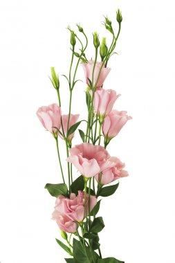 Fresh pink eustoma flowers on white background stock vector