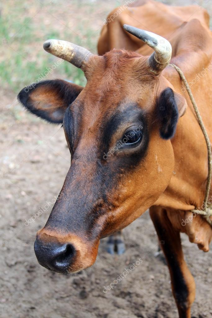 Indian brown cow, Goa