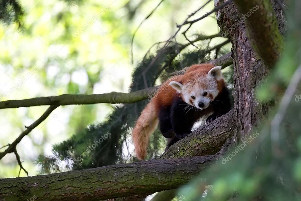 roter panda im wald stockfoto johan10 113119302. Black Bedroom Furniture Sets. Home Design Ideas