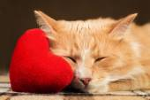 Fotografie Red fluffy cat asleep hugging soft plush heart toy