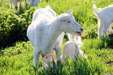 Goat with kids on a meadow