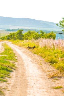 German badger dog running
