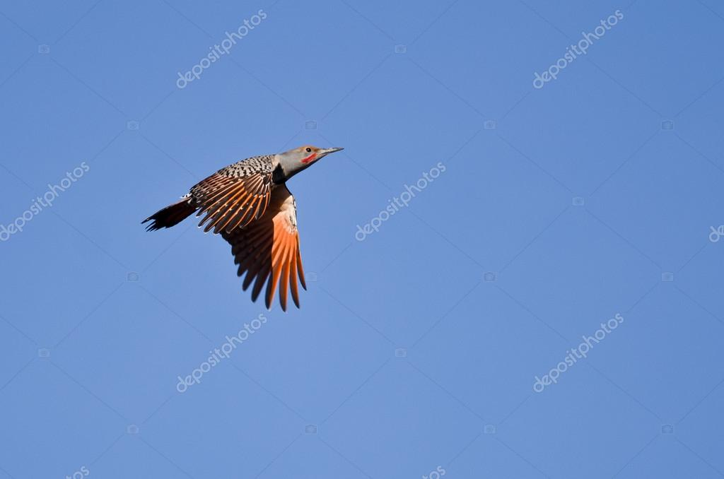 Northern Flicker Flying in a Blue Sky