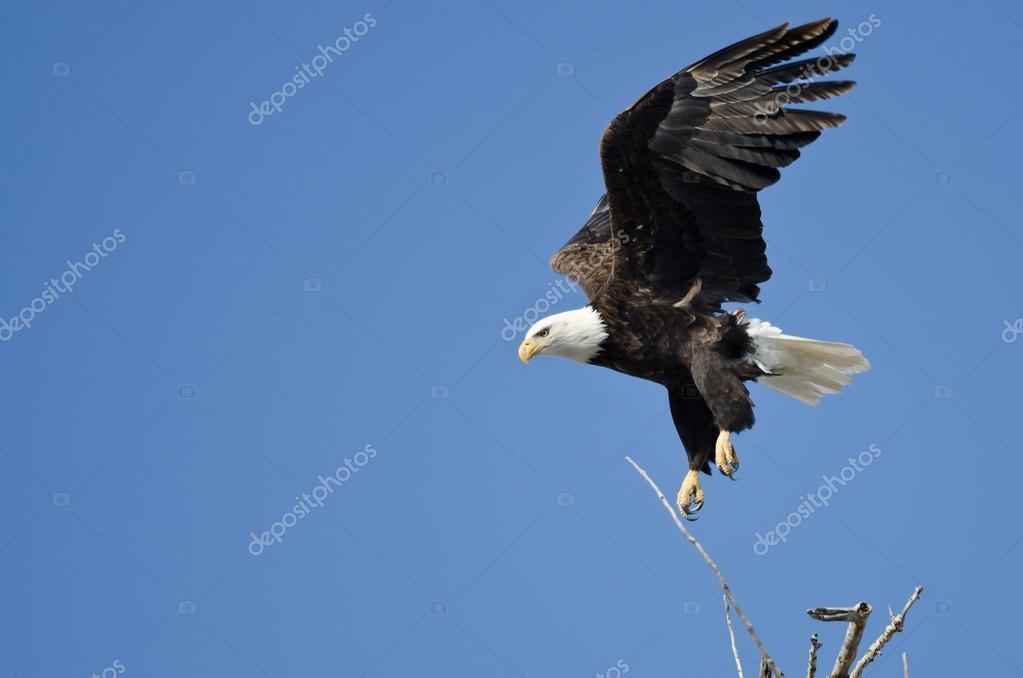 Bald Eagle Diving After Prey