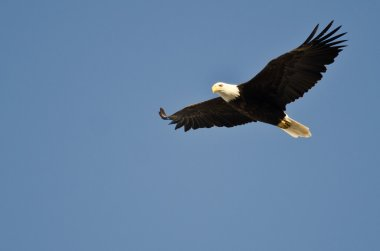 Bald Eagle Flying in a Blue Sky