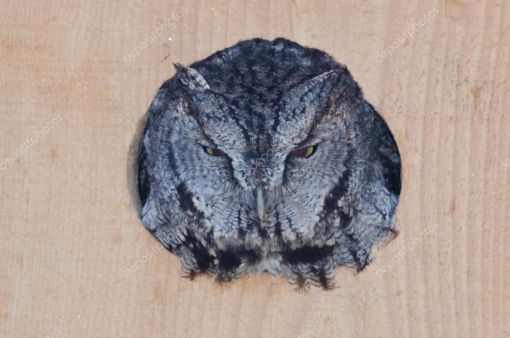 Evil Looking Western Screech-Owl Peering Out From a Nesting Box