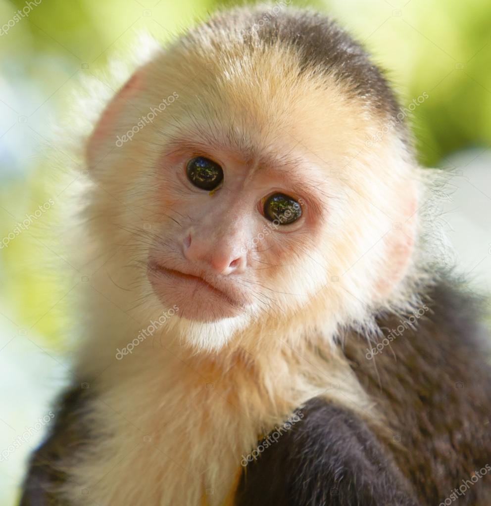 how to draw a capuchin monkey