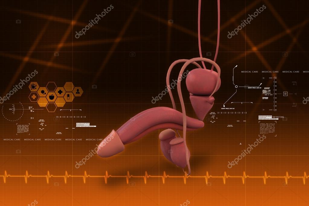 Anatomía del pene humano — Fotos de Stock © cuteimage1 #56157529