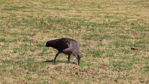 Hadada ibis, beautiful wild birds in South Africa.
