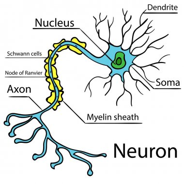 Anatomy of a typical human neuron Vector 2