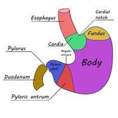 Human stomach. Vector illustration 1