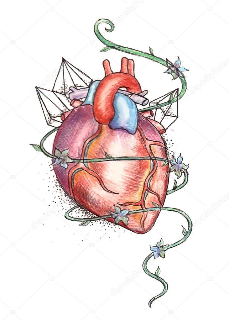 gezeichnete menschliche Herz — Stockvektor © Elenamedvedeva #53793299
