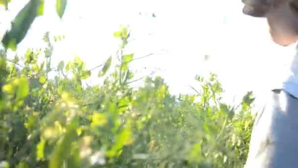 sklizeň lusků pole při západu slunce