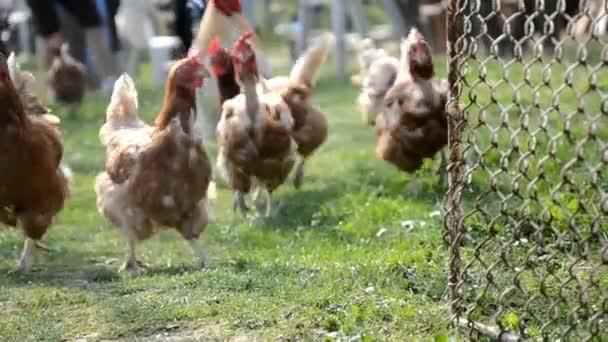 slepice jsou runnig Coope kuře