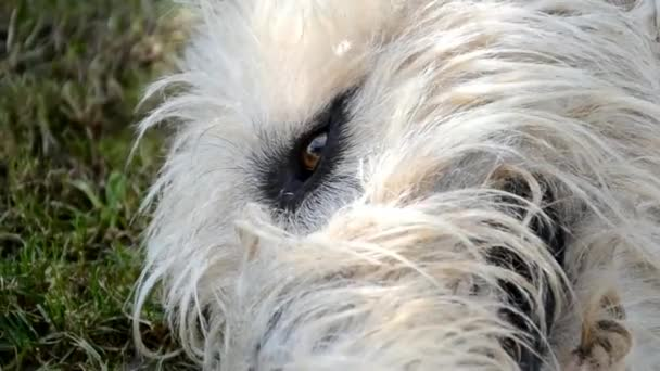 Irish Wolfhound eye