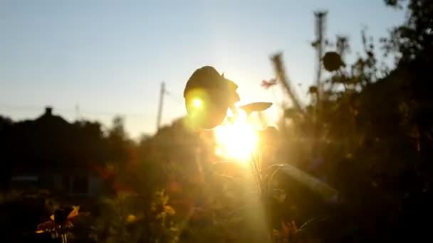 zvadlé slunečnice při západu slunce v objetí slunečních paprsků, Slovensko