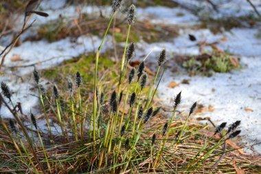 spring marsh plant beautiful fluffy