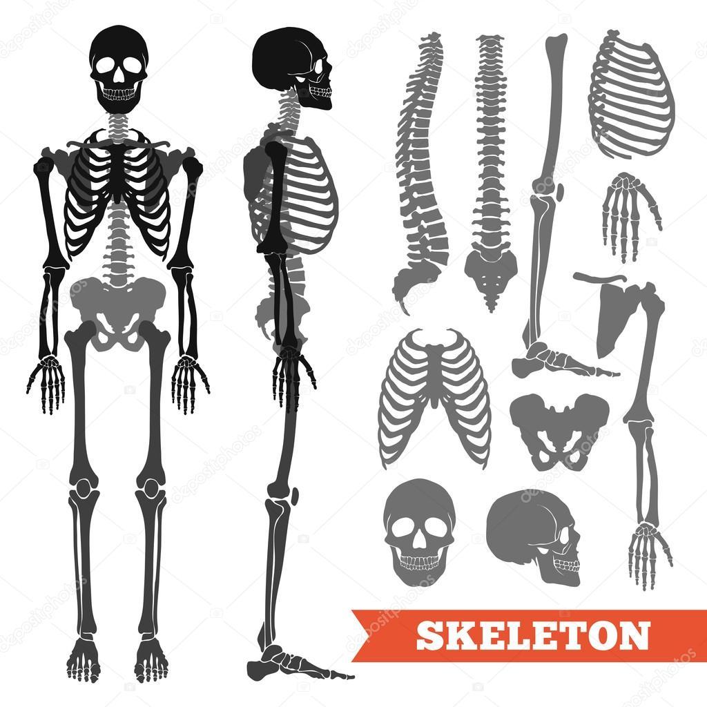 Menschliche Knochen und Skelett-Set — Stockvektor © macrovector ...