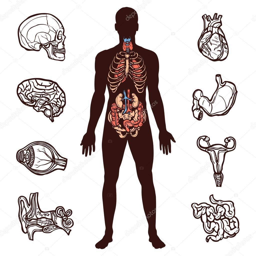 Juego de anatomía humana — Vector de stock © macrovector #64847353