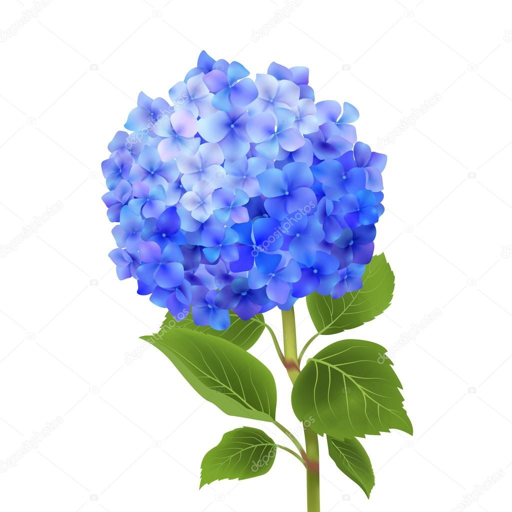 Blue Hydrangea Isolated