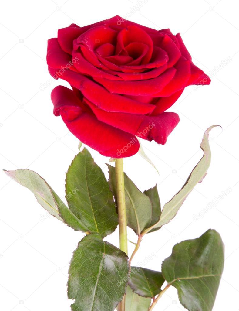 Rosa Rossa Su Sfondo Bianco Foto Stock Oleg17k 59093471