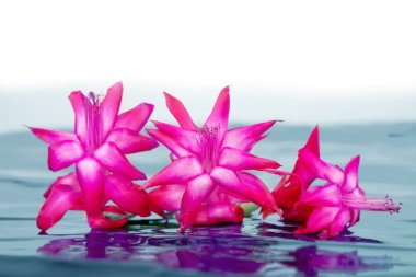 pink flowers with reflection in water