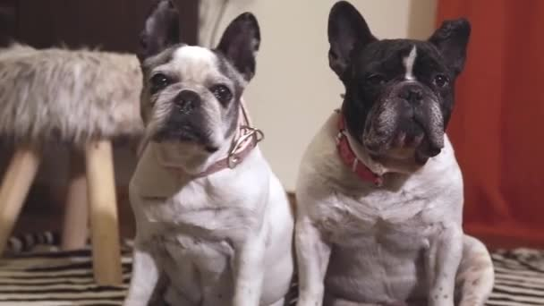 sweet couple of french bulldog dogs sitting in a room looking at the camera half aslee