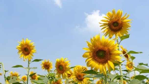 Slunečnice jsou nádherný