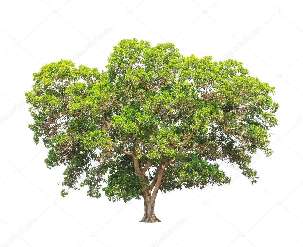 Acacia mangium, common names include Black Wattle, Hickory Wattl