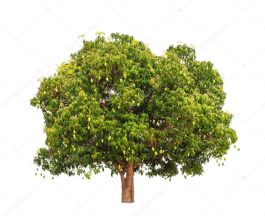 Mango tree (Mangifera indica), tropical tree in the northeast of