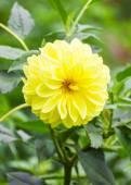 Gul dahlia blomma