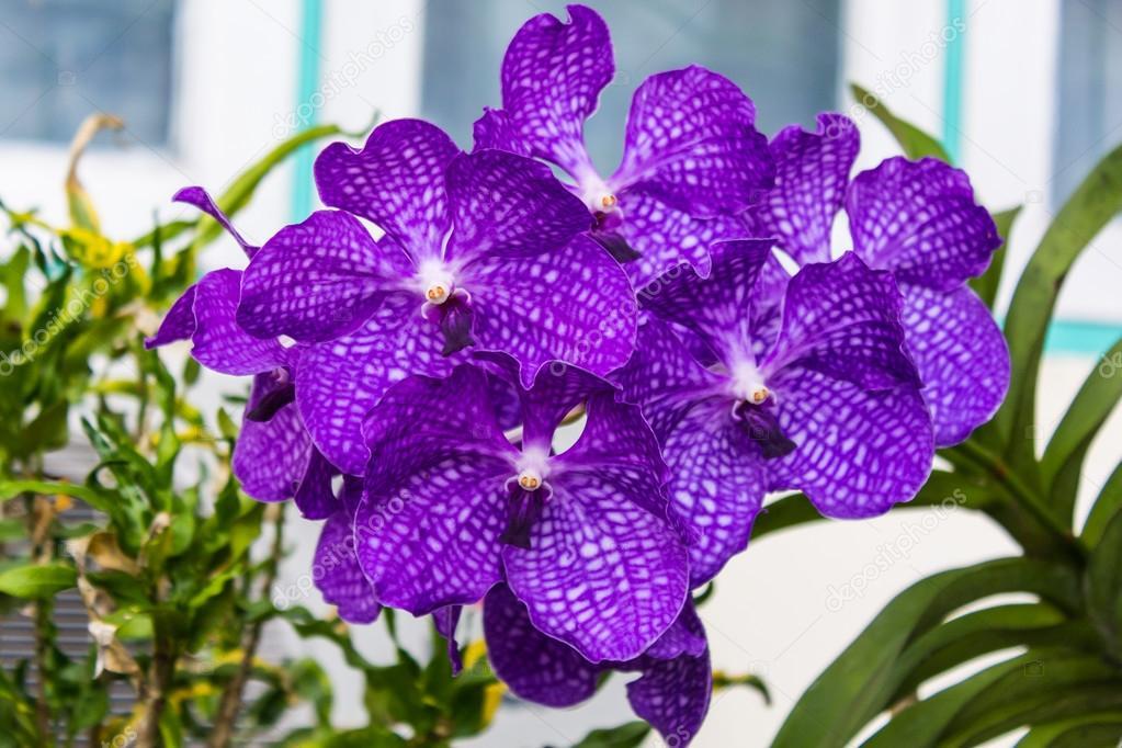 fleur orchid e vanda reine des orchid es photographie. Black Bedroom Furniture Sets. Home Design Ideas