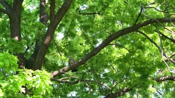 Holub divoký (Columba palumbus) v městském parku na stromě těžce dýchá po boji s dalším holubem