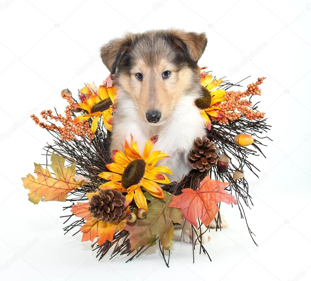 Fall Collie Puppy